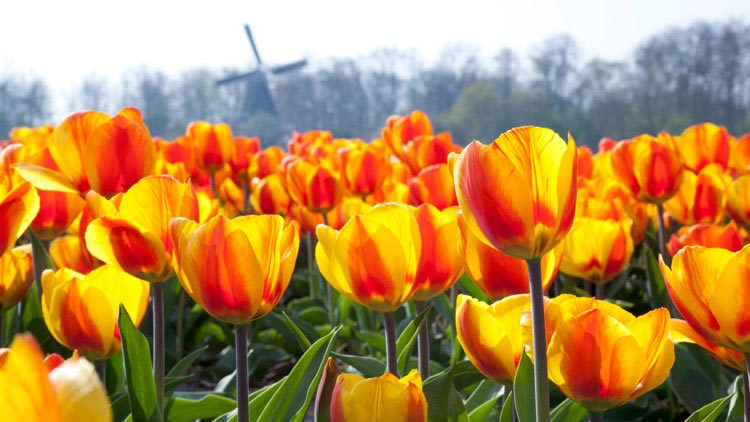 Keukenhof Gardens/Amsterdam Trip